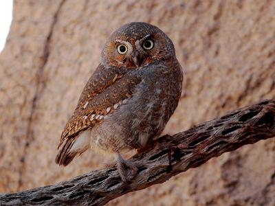 Elf Owl Photo by Roger Hirschman