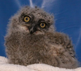 """Bubba"" as a baby, Photo by Tucson Wildlife Center"